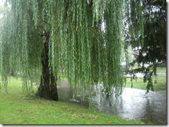 willow rain